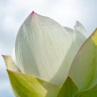 Lotus Image