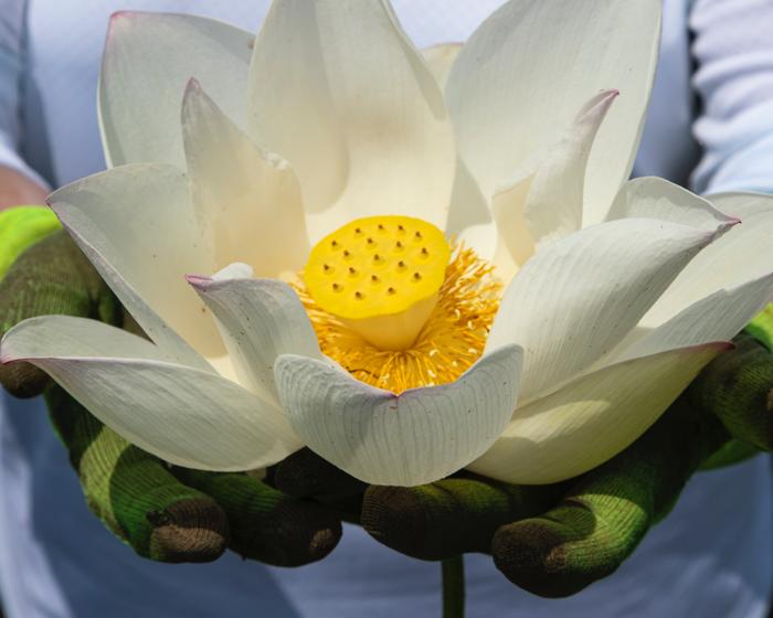 The Living Lotus - image