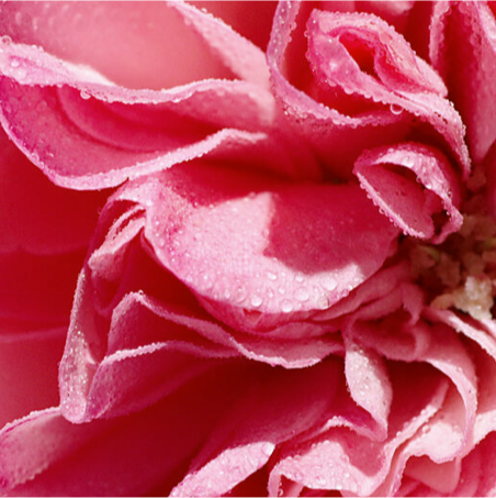 Rose ingredients - damask rose extract