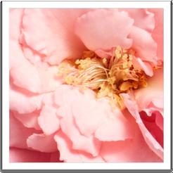 Rose Ingredient Benefits Image