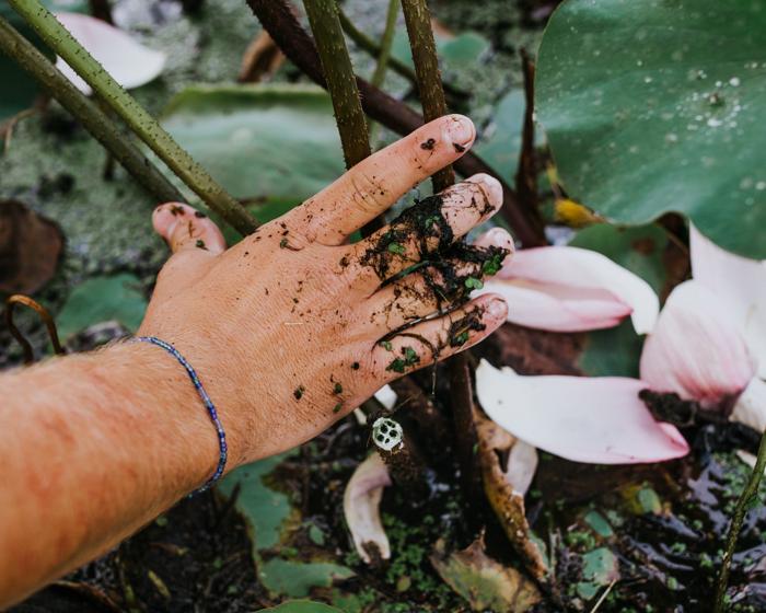 Organically-grown white lotus