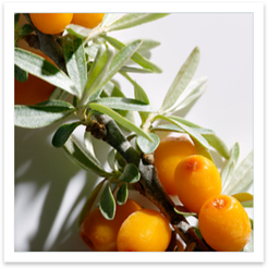 Seaberry Image