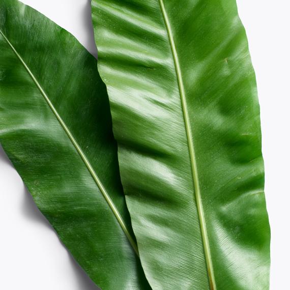 galanga leaf